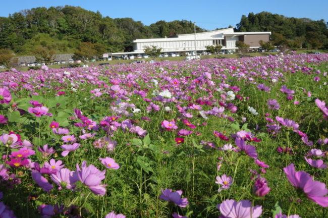 そよかぜ広場の花畑(コスモス)