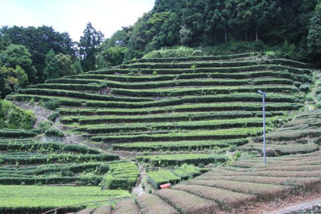 石積みの段々茶畑
