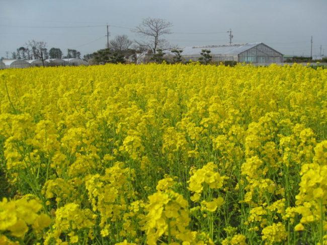 景観作物の植栽(浜松市西区村櫛町)