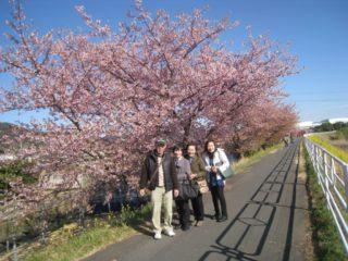 朝比奈川堤の「山の手桜」