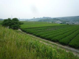 牧之原台地麓の茶園