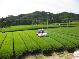 雄大な茶園風景