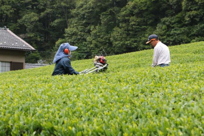 山間地の茶業ボラバイト