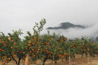 多品種の柑橘類