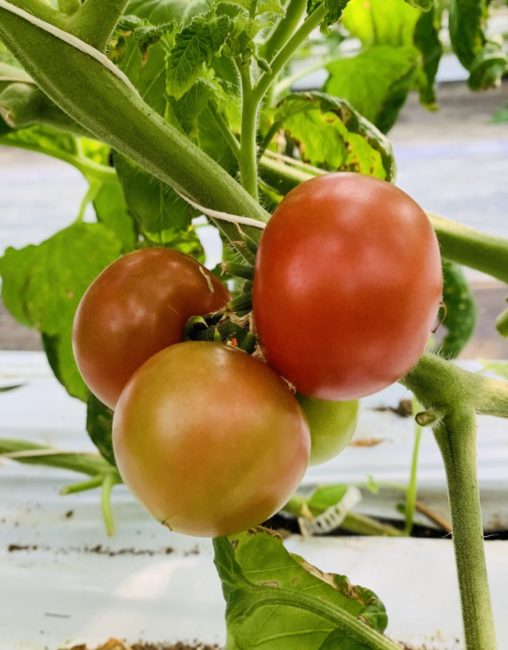 金太郎トマト