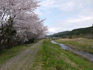 敷地川沿いの桜並木・彼岸花