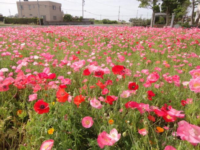 景観作物の植栽(浜松市南区大塚町)
