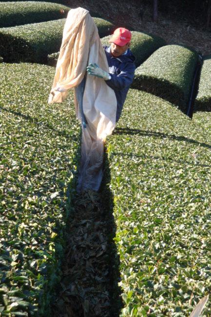 世界農業遺産「静岡の茶草場」