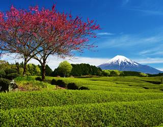 茶園と富士山