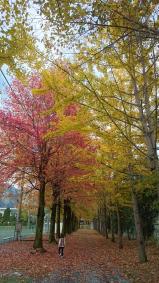 楓と銀杏の紅葉(第一小)