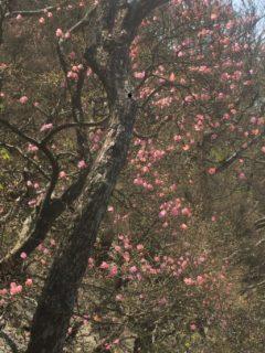 京丸牡丹(アカヤシオ)