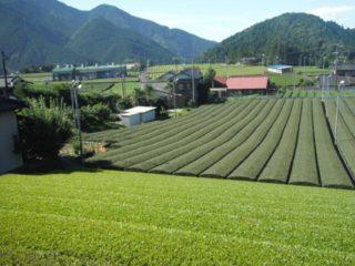 整備された茶園