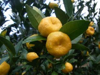 橘(日本国有の野生木)