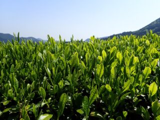 茶(自然と歴史が奏でる里山 三倉)