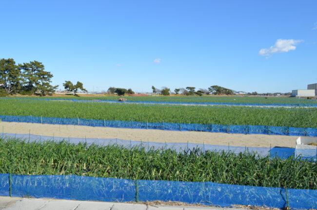 砂地の玉ねぎ畑