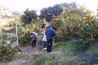 ふるさとみかん山 収穫体験