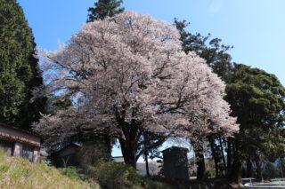 大久保小学校跡地の山桜